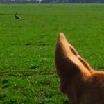 Jagende hond