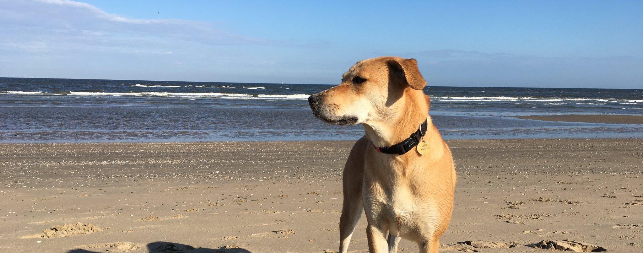 commando hond